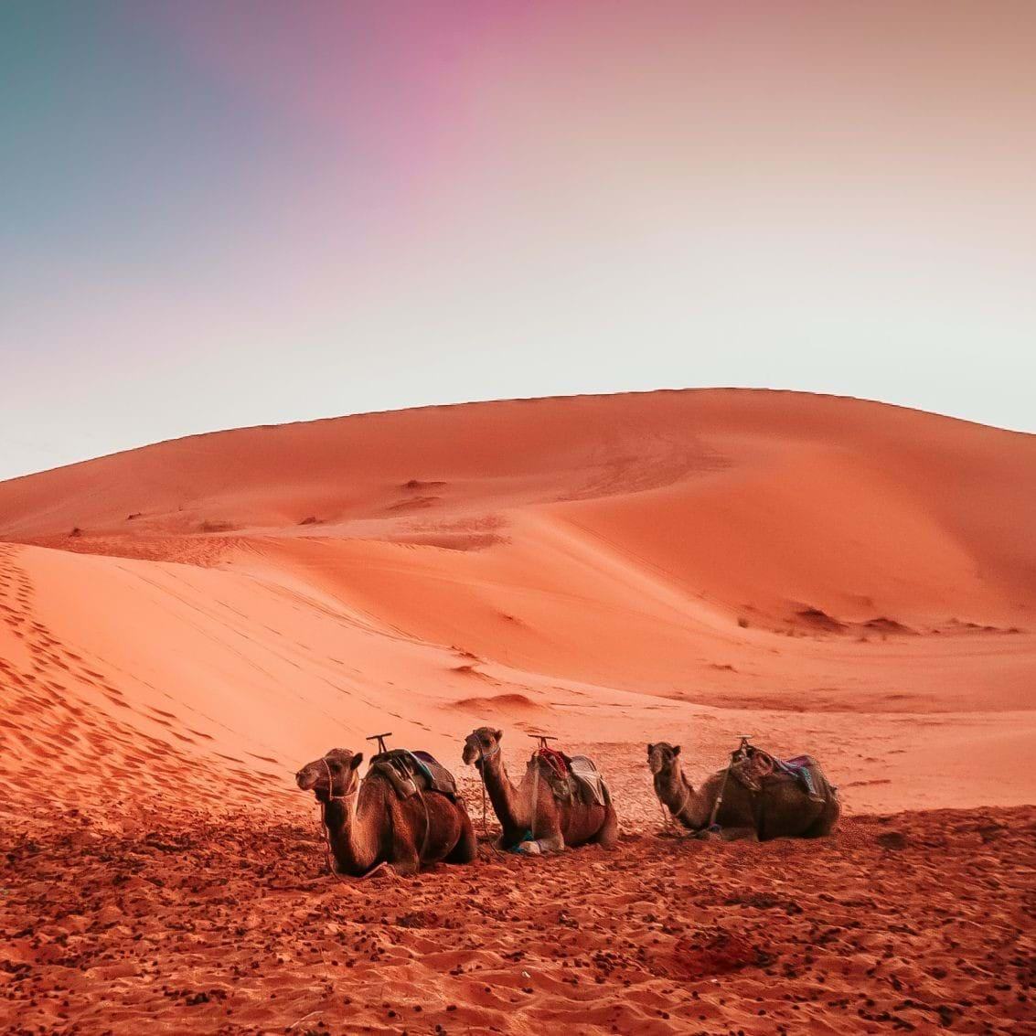 Camels in the Sahara Desert in front of sand dunes at sunset