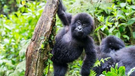 The Gorilla Adventure in Uganda 2021