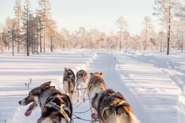 Husky Sled Sledding