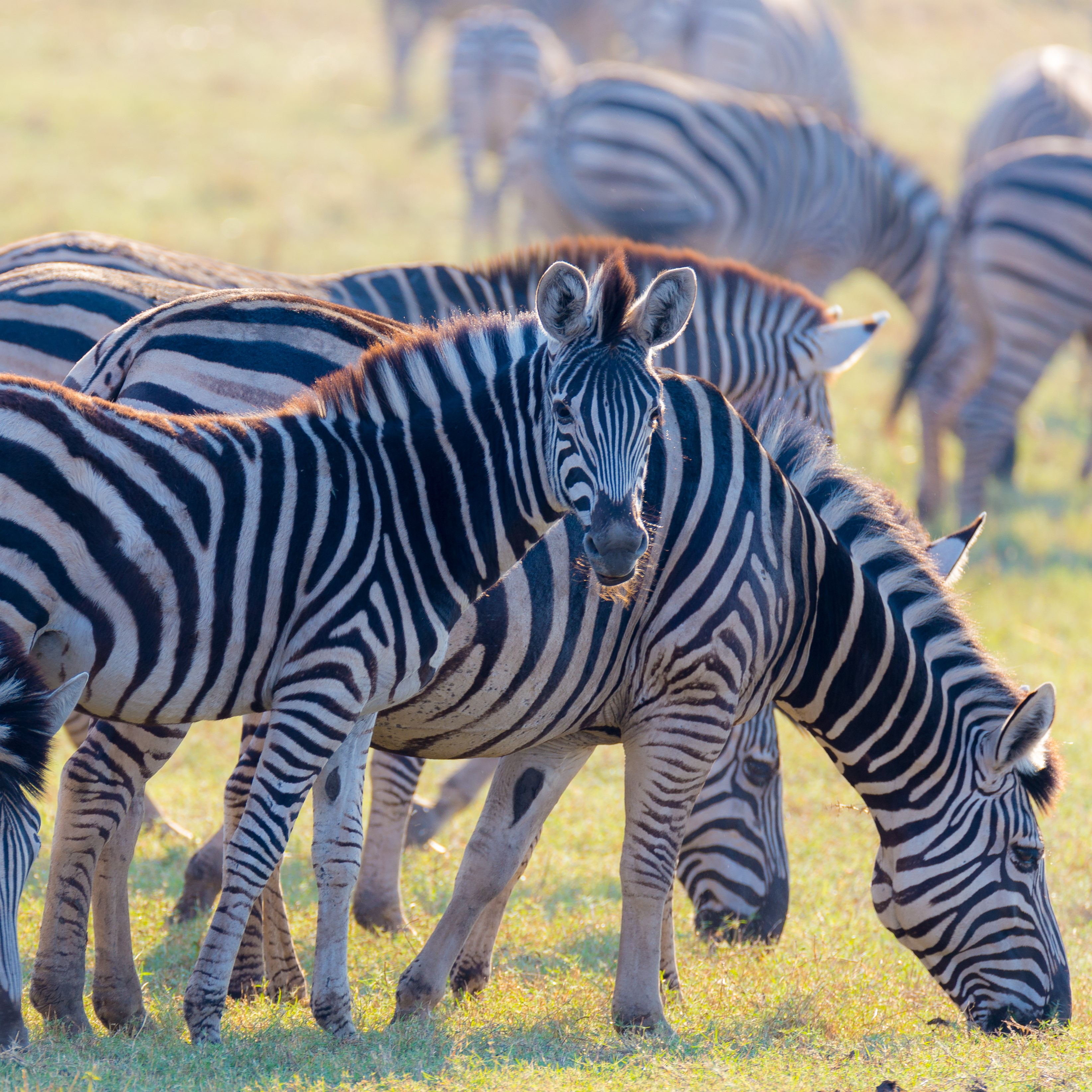 herd of zebras in Kenya National Park