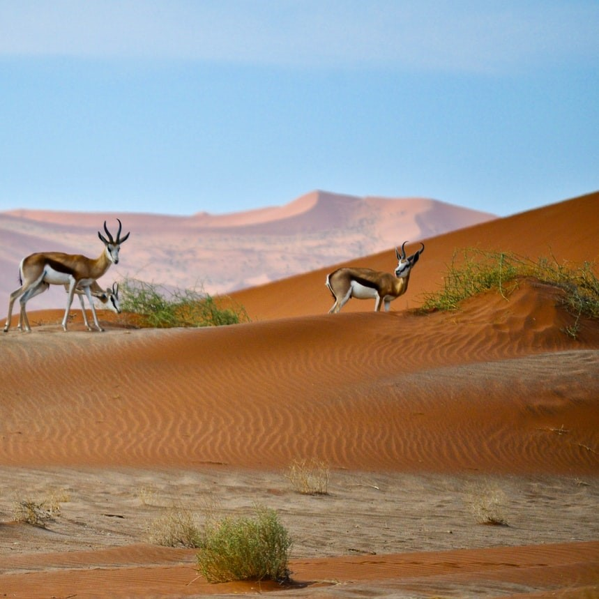 Samboks in the Namib Desert in Namibia