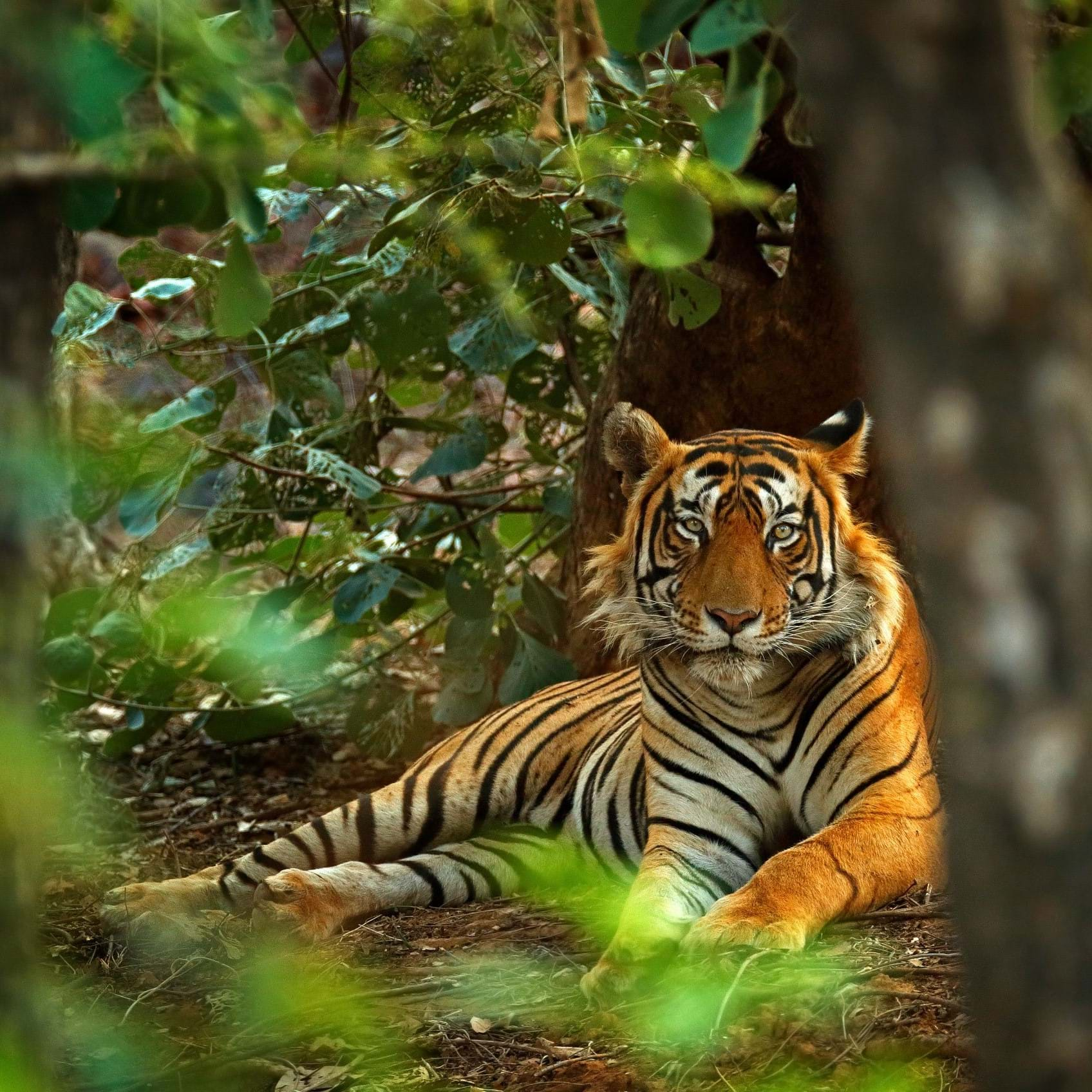 tiger in a forest in India