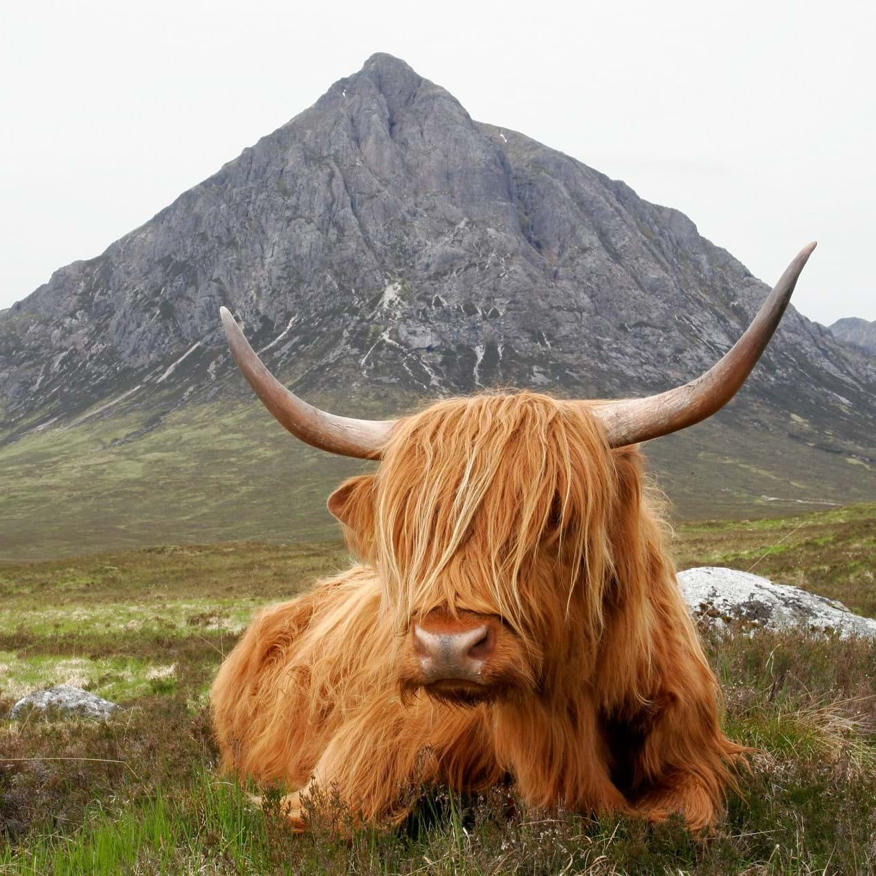 highland cow in front of the Buchaille Etive in the Scottish Highlands