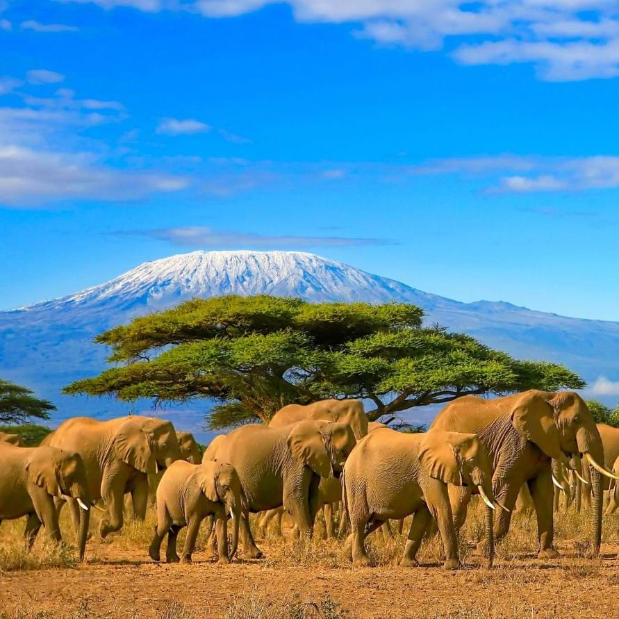 elephants walking in Tanzania with Kilimanjaro in the background