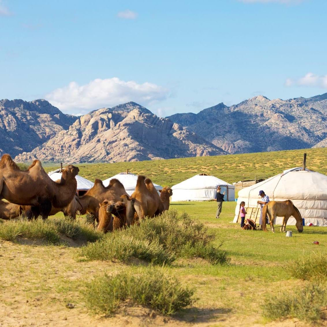 camels and nomads in Mongolia